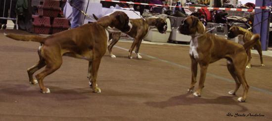 Chelton - Dog Show Luxembourg, Mars 2010 ~ 1er EXC Classe Champion